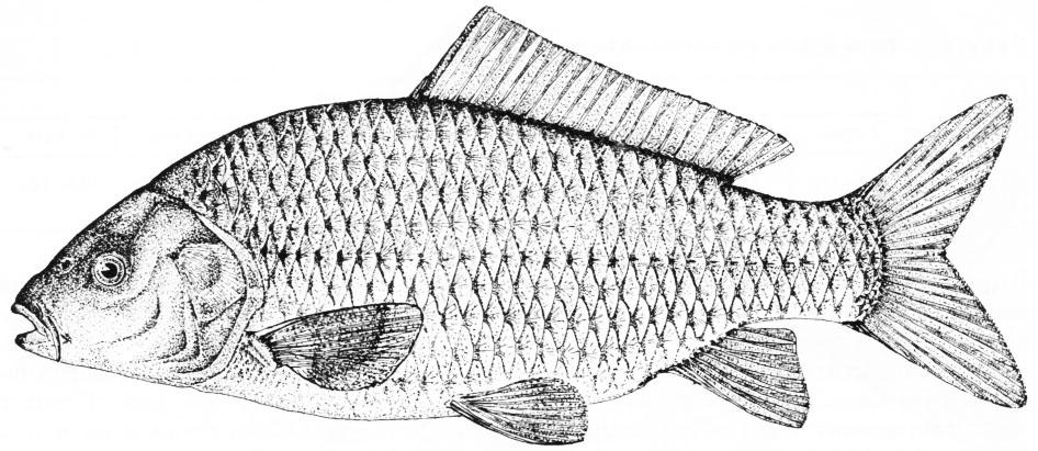 Karp drobnołuski, Cyprinus carpio